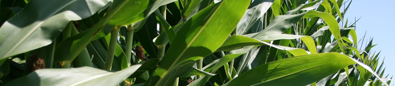 Close up photo of mature corn stalks