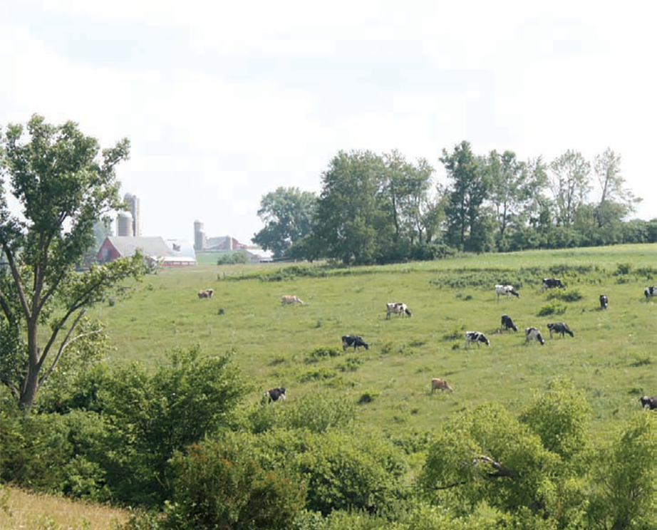 Cows graze on the Heisner family farm.
