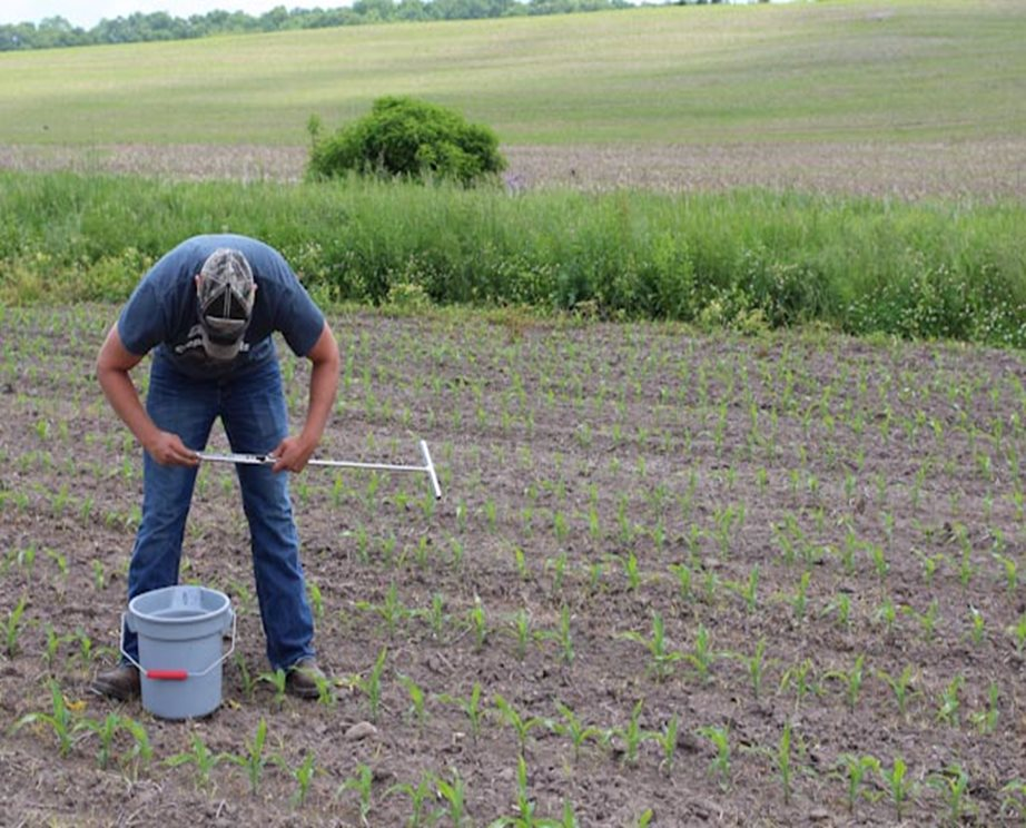 A man taking soil samples in a corn field.