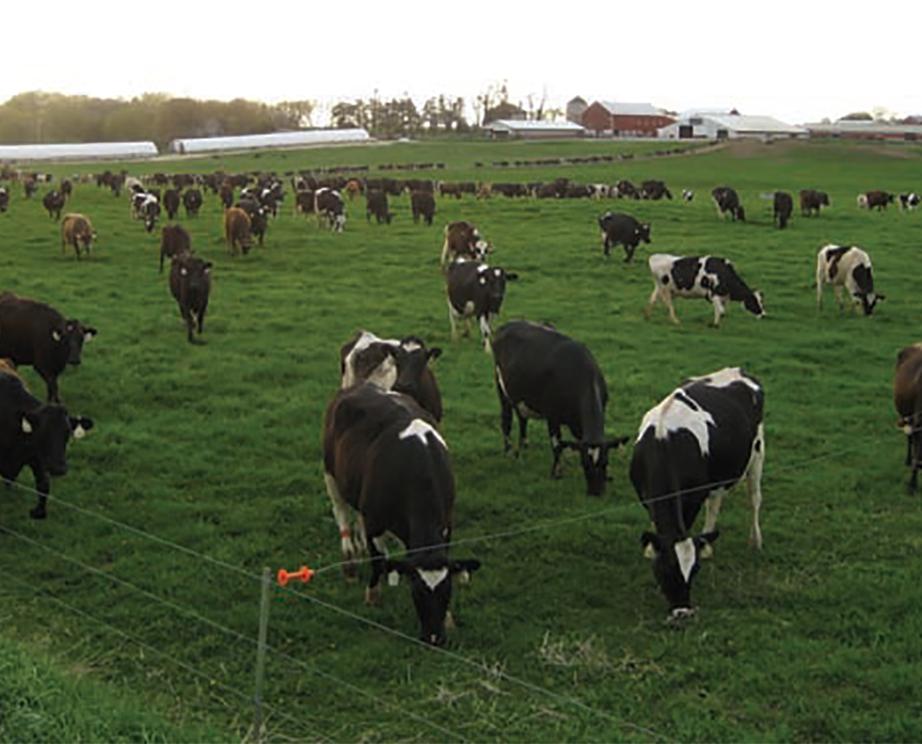 Cows graze on a grass field.