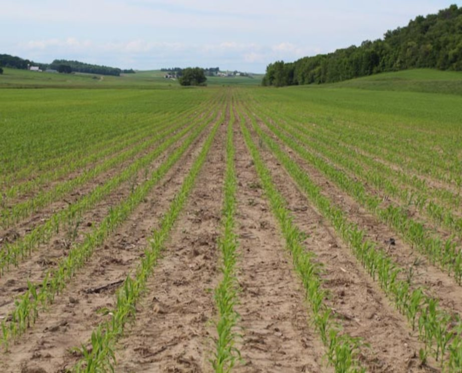 A field of corn, early in the growing season.